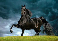Majestic black horse with hoof raised.