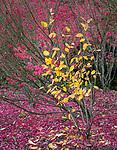 Seattle, Washington:<br /> Kubota Gardens city park. Fall colors and fog, dogwood, burning bush