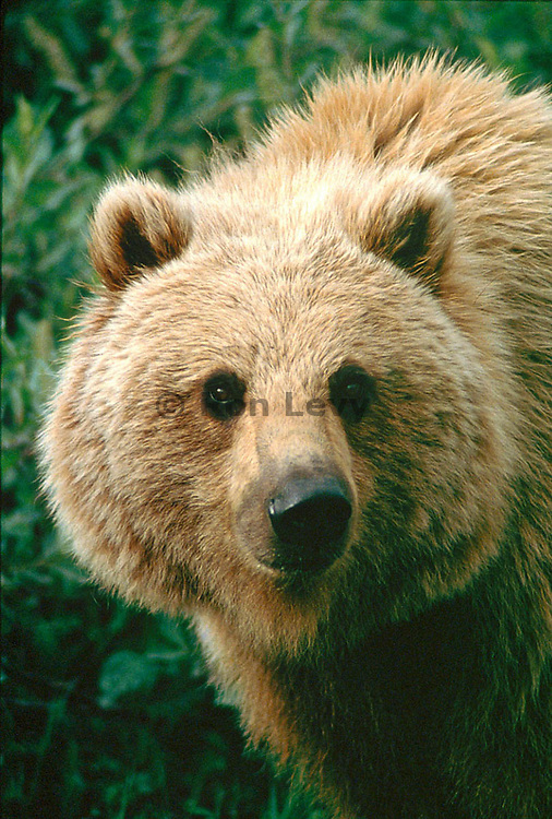 Grizzly bear closeup, Denali National Park, Alaska