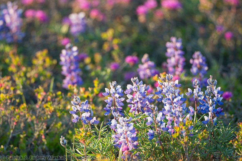 Pink and purple blossoms of the lapland rosebay and lupine blossom on the arctic tundra, Alaska.