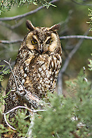 Long-eared Owl, Oregon