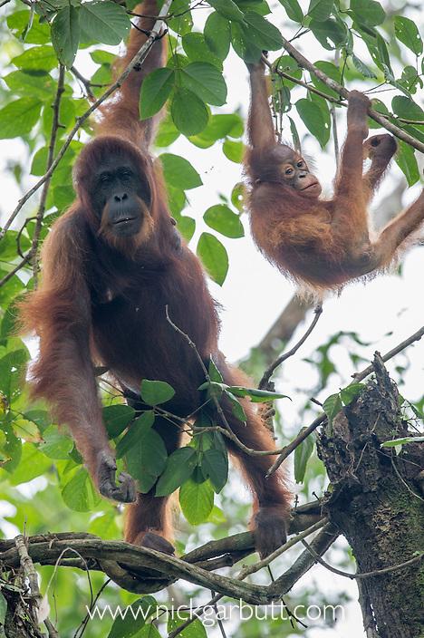 Female Bornean Orang-Utan (Pongo pygmaeus) with infant in the rainforest canopy. Danum Valley, Sabah, Borneo.