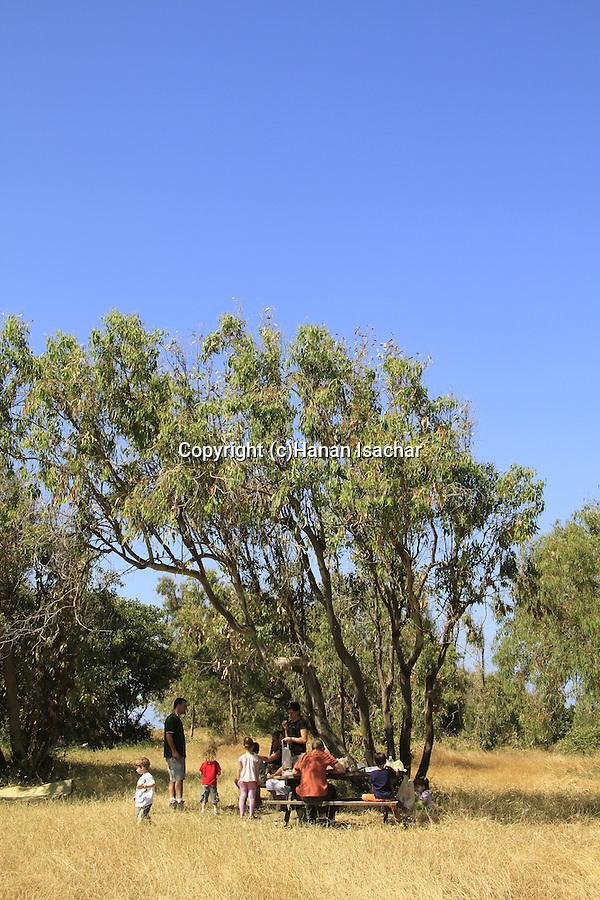 Israel, Eucalyptus trees at Sharon Beach national park