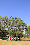 Israel, Eucalyptus trees at Sharon Beach national park