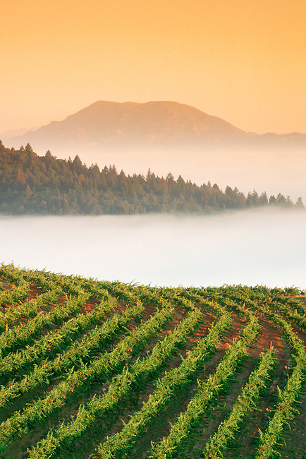 Sunrise on vineyard with 5,300ft Mt. St. Helena in distance