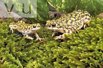 Sonoran Green Toad ,Bufo retiformis,, Southwestern North America.