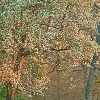 Pear Tree in Springtime, Washington