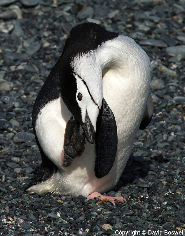 A Chinstrap penguin having a scratch on Half Moon Island, Antarctica.