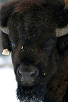A Plains Bison breading bull on the Buck Lake, Alberta ranch of Louie Banack on April 15, 2004..John Ulan/The Globe and Mail