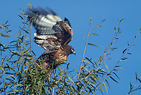 542103058 a wild adult ret-tailed hawk buteo jamaicensis prepares to take flight from its perch in a large bush at bosque del apache national wildlife refuge in new mexico