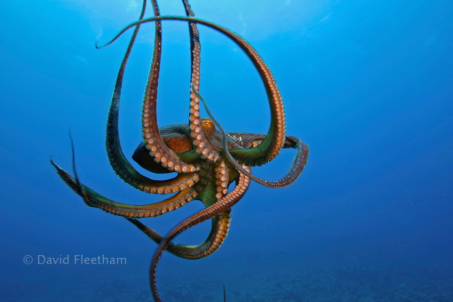 This view shows the suckers on this eight armed cephalopod. Day octopus, Octopus cyanea, Hawaii.
