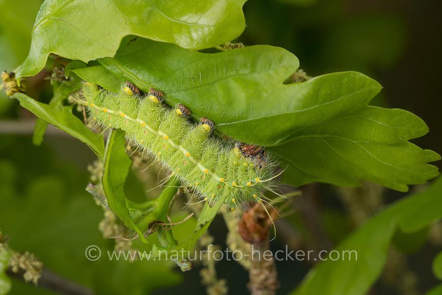 Perisomena caecigena, Raupe frisst an Eiche, Perisomena caecigena, Saturnia caecigena, Perisomena parviocellata, Autumn Emperor Moth, caterpillar, Pfauenspinner, Saturniidae