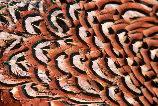 The intricate pattern of a ring-necked phesant (Phasianus colchicus) feather.