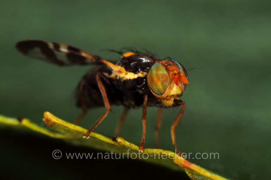Kirsch-Fruchtfliege, Kirschfruchtfliege, Fruchtfliegen, Komplexauge, Facettenauge, Komplexaugen, Facettenaugen, Rhagoletis cerasi, Rhagoletis signata, Trypeta signata, cherry fruit fly, tephritid fruit fly, Bohrfliegen, Tephritidae, tephritid fruit flies