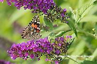 03406-01306 Painted Lady (Vanessa cardui) on Butterfly Bush (Buddleia davidii Marion Co. IL