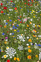 Blumenwiese, Beet, Blumenbeet, Wildkräuter-Wiese, Wildkräuter, bunte Vielfalt, mit Mohn, Kornblumen, Eschscholzia, Escholzia, Escholtzia, flowerbed, flower-bed, flower bed, flowery meadow, Flower meadow, poppy, cornflower, bluebottle