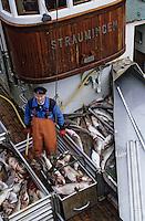 Europe/Norvège/Iles Lofoten/Nusfjord: le port retour de péche au skréi - cabillaud