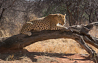Namibia Africa leopard in wild at Okonjima Private Reserve at Okonjima Bush Camp on safari at Africat Foundation to help animals return to wild