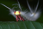 Moth Caterpillar, portrait, on leaf with urticating hairs, Manu, Peru, Amazon jungle, white, irritating hairs, fluffy, reared up in defence, lepidopterism. .South America....