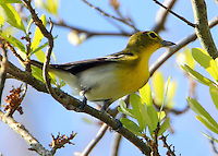 Adult yellow-throated vireo