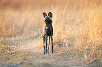 The rest of her pack is on the hunt, off to the right and out of the frame. This African Wild Dog (Lycaon pictus) is serving as the rear guard for her pack, up on her toes, neck up, making sure there are no threats to the pack from behind.