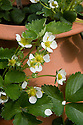 Container-grown strawberry 'Mae' in flower, mid April.
