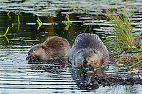 Two North American Beaver (Castor canadensis) at communal feeding area along edge of pond.  Northern Rockies,  Fall.  Beaver often have a regular (usually several) feeding area within their home territory where they will bring small limbs to feed on.  Note: the larger beaver on the right is an adult while the other beaver is a young one born earlier in the year (probably four to five months old).