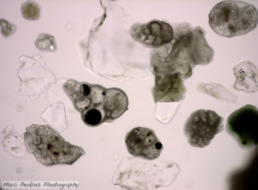A collection of forams seen at 200x magnification.  Their tests are made of caclium carbonate, and thus have a chalky appearance.
