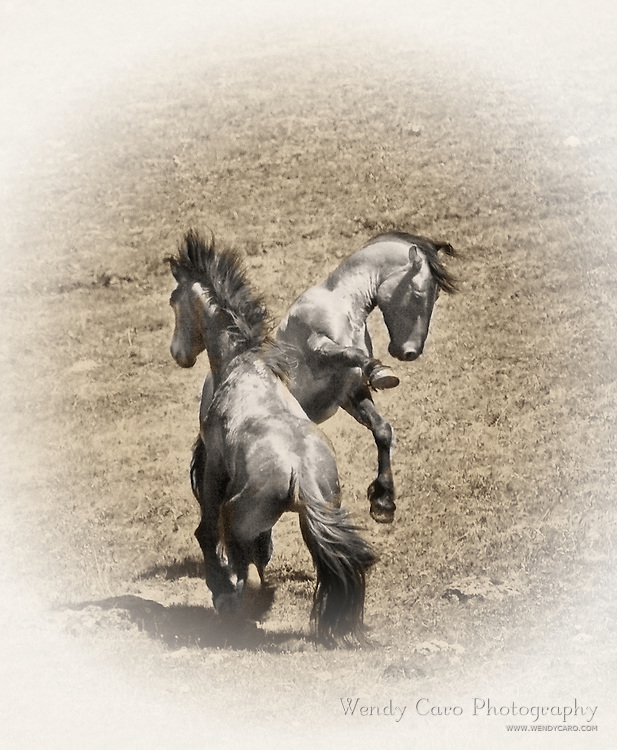 Two stallions, fighting to keep their bands intact, Pryor Mountains, northern Wyoming, old style sepia print.