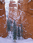 Bryce Canyon National Park, UT<br /> Fresh snow on a stand of Douglas fir trees protected by towering sandstone walls on the Navajo trail
