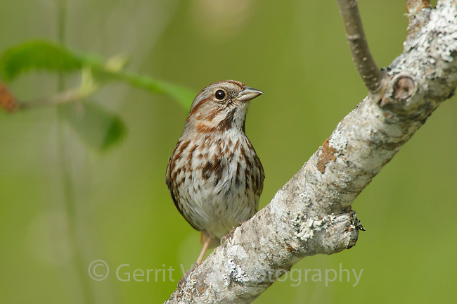 Adult Song Sparrow (Melospiza melodia). Pend Oreille County, Washington. May.