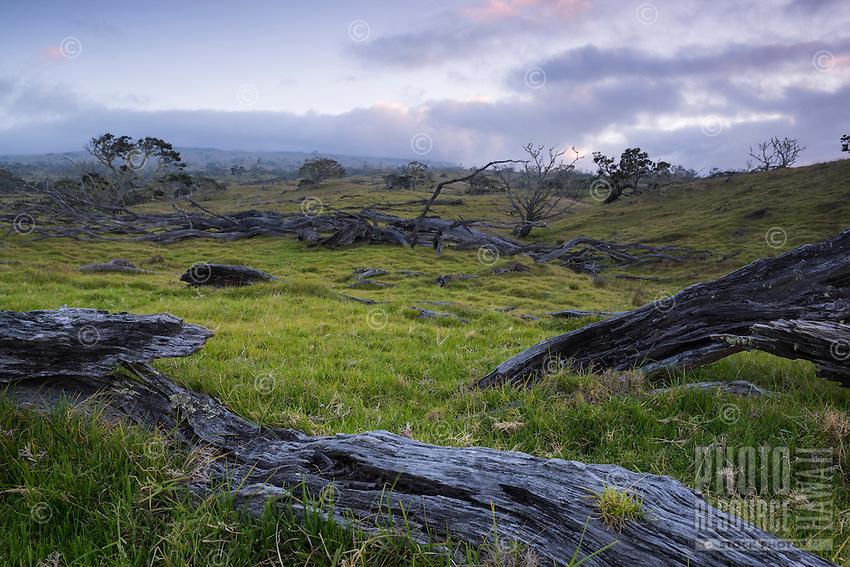 Evening light over ancient fallen koa trees along the pastural hills of Mauna Kea near Mana Road, Big Island.