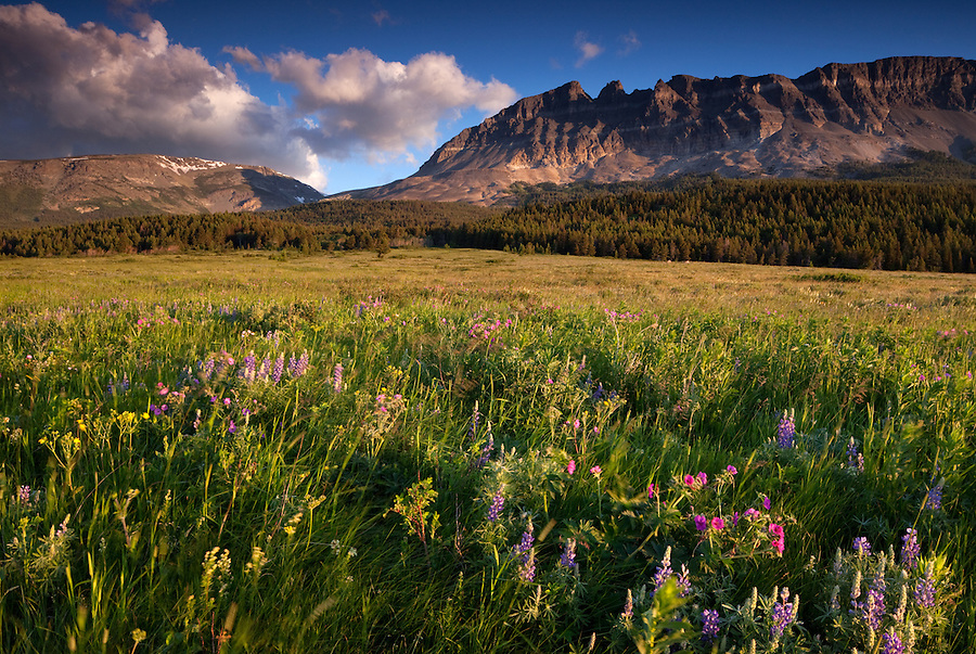 Colorful wildflowers blow in the wind along Two Dog Flats in the Many Glacier area of Glacier National Park, Montana.
