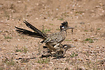 Greater Roadrunner male and female mating (Geococcyx californianus), Southwestern USA deserts. Note that the male has a Whiptail lizard in its beak.