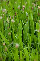 Spitz-Wegerich, Spitzwegerich, Wegerich, Blüten, Blütenstand, blühend, Blüte, Plantago lanceolata, English Plantain, Ribwort, narrowleaf plantain, ribwort plantain, ribleaf, le Plantain lancéolé, Plantain étroit