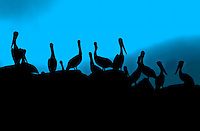 Pelicans on the Jetty with Moody Blue Background