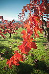 Old fall vineyard near Calistoga