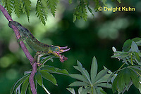 CH34-547z  Male Jackson's Chameleon or Three-horned Chameleon tongue flicking to catch insect prey, Chamaeleo jacksonii