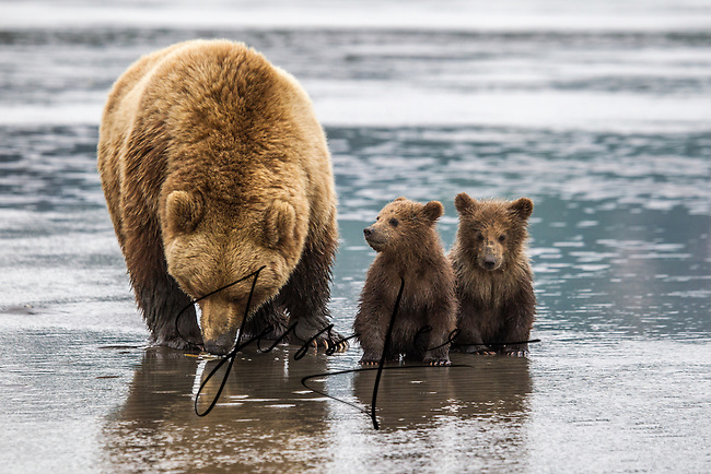 Alaska_Bear Photo Cubs playing,grizzly, Grizzly Bear or brown bear alaska Alaska Brown bears also known as Costal Grizzlies or grizzly bears