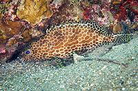 Honeycomb Grouper, Epinephelus merra, Tanjung Gedong dive site, off Flores Island, Indonesia, Indian Ocean