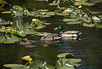 Mallard ducks, Anas platyrhynchos, male, drake, female, hen, at Cub Lake, Rocky Mountain National Park, Colorado, USA, spring, morning, lily pads, yellow pondlilies.