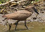 Birds - Uganda, Africa