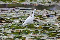 Intermediate Egret, Gympie Town Park, Queensland, Australia