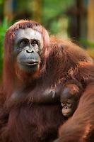 Adult and baby Orangutan at the Semenggoh Wildlife Centre, Kuching, Sarawak, Malaysian Borneo