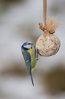 Blaumeise, selbstgemachtes Vogelfutter in Säckchen verpackt als Meisenknödel, Vogelfütterung, Fütterung, Fettfuttermischung, Fettfutter, Blau-Meise, Meise, Meisen, Cyanistes caeruleus, Parus caeruleus, blue tit, bird's feeding, La Mésange bleue.
