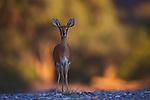 Namibia;  Namib Desert, Damaraland, steenbok, steenbuck, steinbuck (Raphicerus campestris) in Hoanib River valley