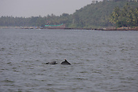 Indo-Pacific Humpbacked Dolphin,  Sousa chinensis, Mother and calf,  Arabian sea. Goa, India