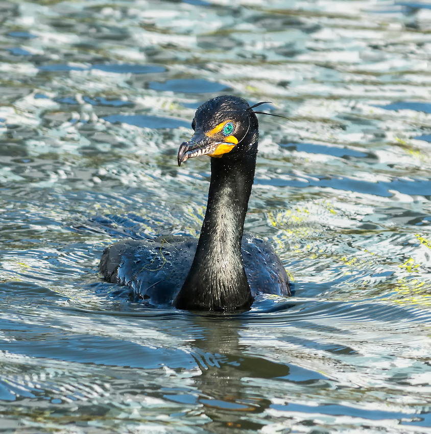 Double-crested cormorant seen swimming in the Grand Canal in Venice, California