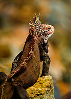 An iguana suns himselves on the rocks of the port of Saint Thomas, in the US Virgin islands on Feb 8, 2012