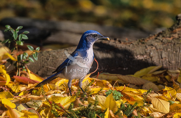 California scrub jay or Western Scrub Jay (Aphelocoma californica) caching seed/piece of nut among fall leaves,  Pacific Northwest.  Fall.